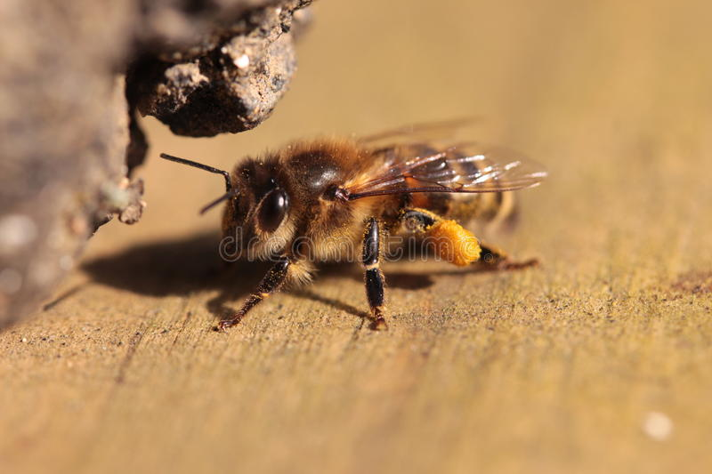 A bee with pollen. Photo taken in spring. Young bee with some pollen pieces on the beehive royalty free stock images