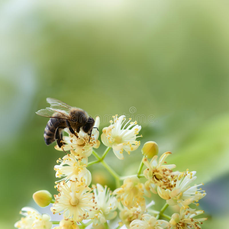 Free Bee Pollinate A Yellow Flower Royalty Free Stock Photography - 29787597
