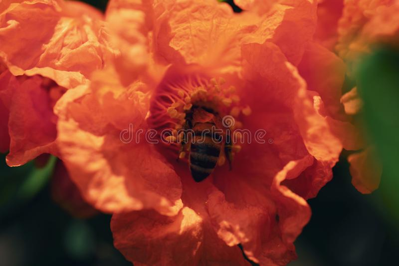 Garnet flower with bee on a pomegranate tree stock photo