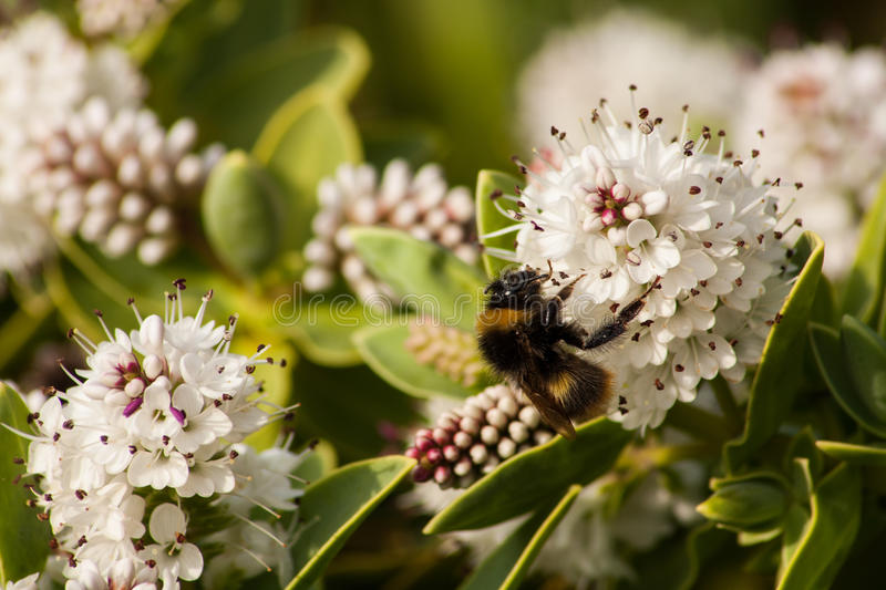 Download Bee pollinate the flowers. stock image. Image of country - 31945241