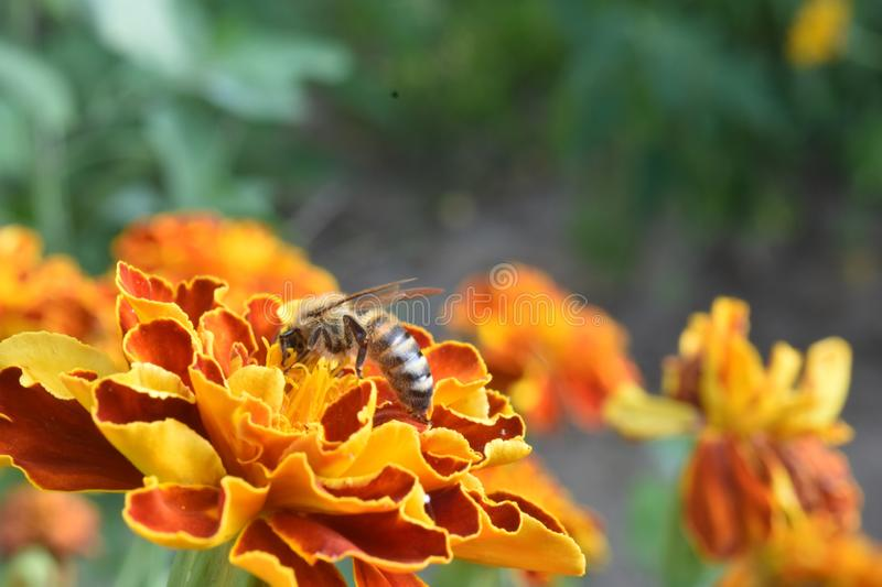 Bee pollinated flower. Close up. Insect sits on Tagetes flower stock photography