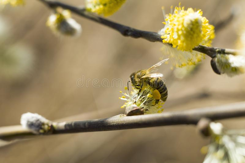 Bee pollinates a blooming tree. royalty free stock images