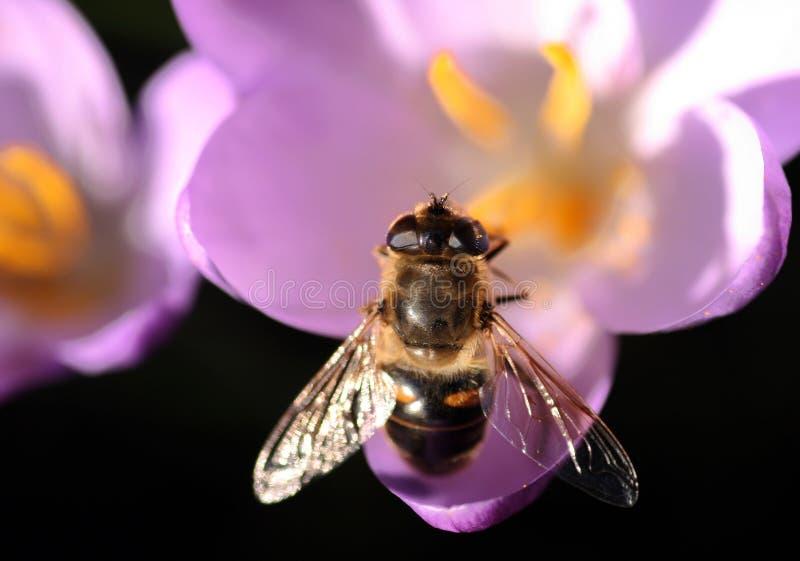Bee pollinates Crocus royalty free stock photo