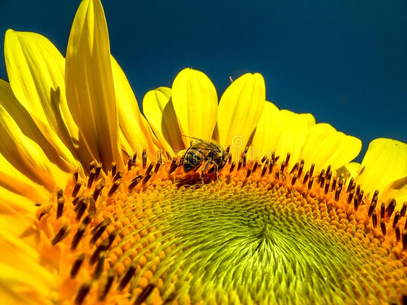 Bee pollinates the flower of a sunflower stock image