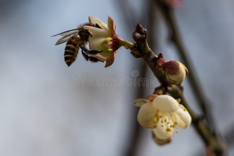 Bee pollinates a peach blossom flower stock photos