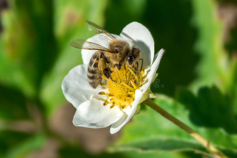 The bee pollinates the strawberry flower. Insect on a white flower. The bee pollinates the strawberry flower. Insect on a white flower royalty free stock photo