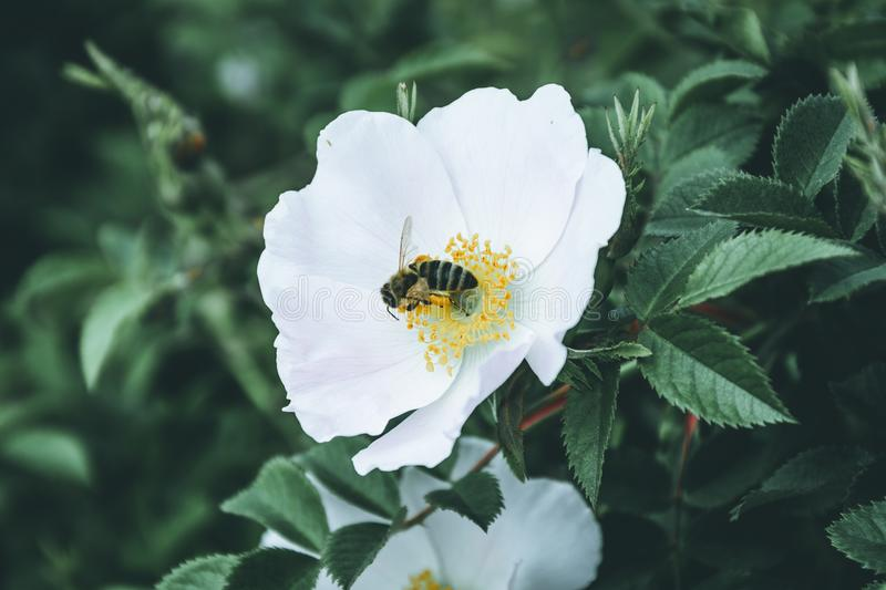 Bee Pollinates White Hips Flower stock images