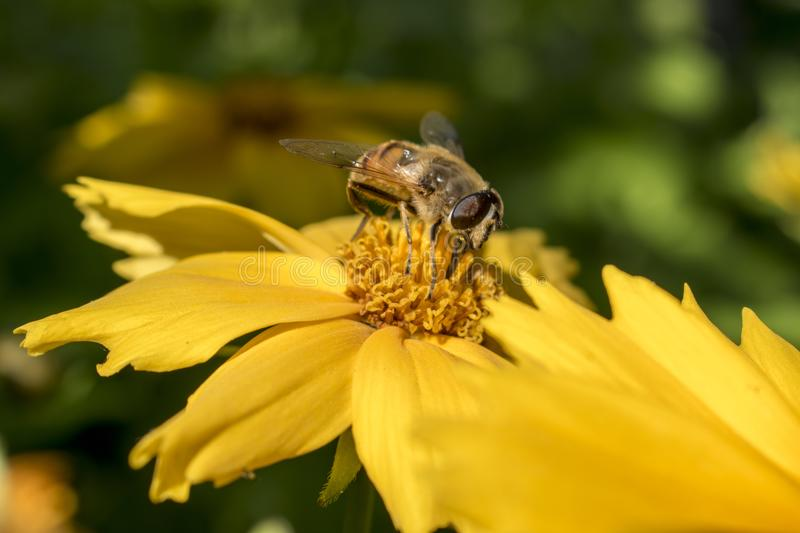 Bee pollinates a yellow flower in the summer royalty free stock images