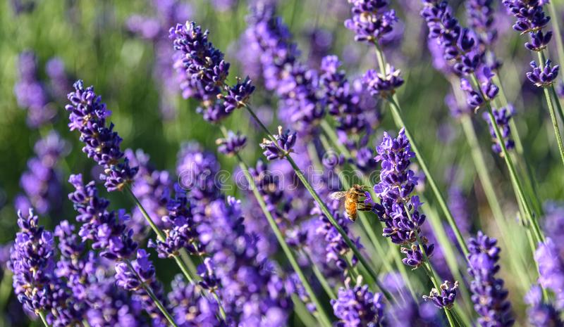 Bee pollinating blooming lavender plants as a nature background royalty free stock photos