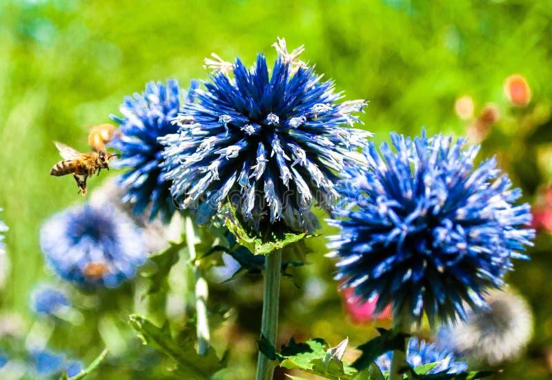 Bee Pollinating Blue Cornflowers Free Public Domain Cc0 Image