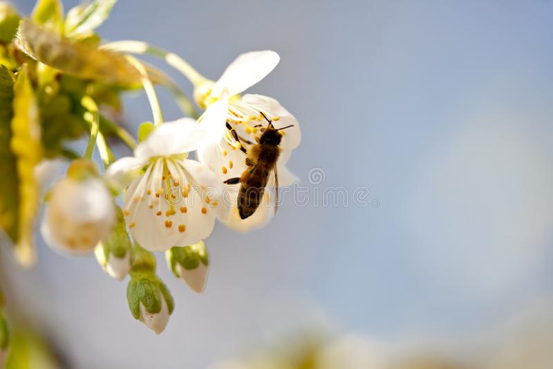 Bee pollinating cherry blossom in spring. Bee pollinating inflorescence of sweet cherry in spring against the sky royalty free stock image