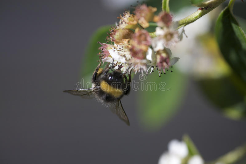 Bee pollinating flower. Details of bee pollinating flower royalty free stock image