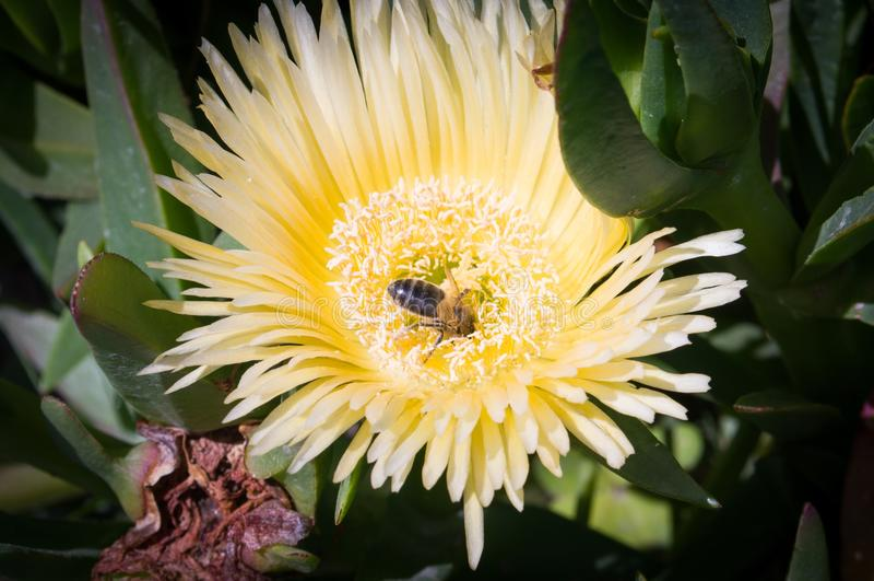 Bee pollinating flower. Of carpobrotus royalty free stock image