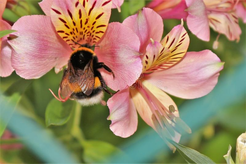 Bee pollinating a flower. In a field in portugal the honey undergoes changes of flavor depending on the plants where they are pollinated royalty free stock photo