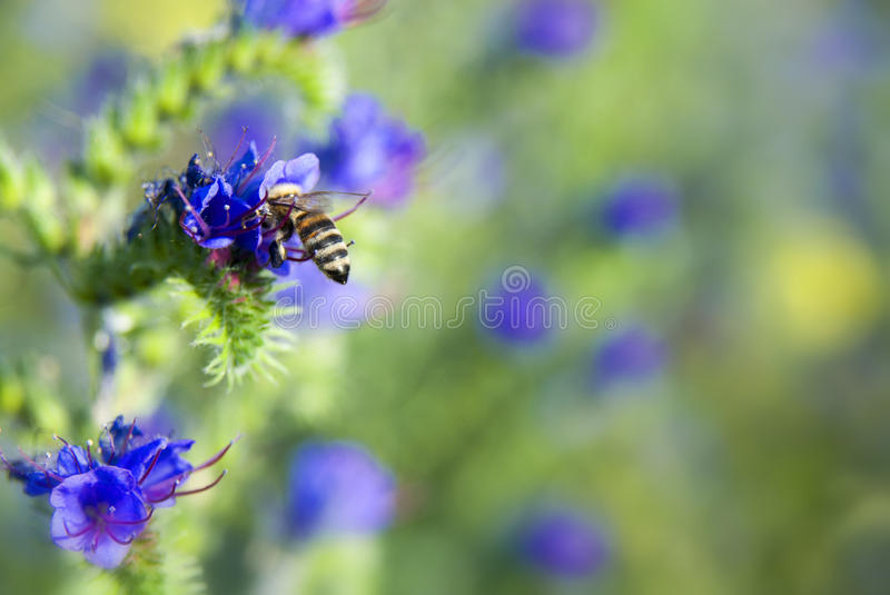 Bee pollinating flower. At meadow stock image