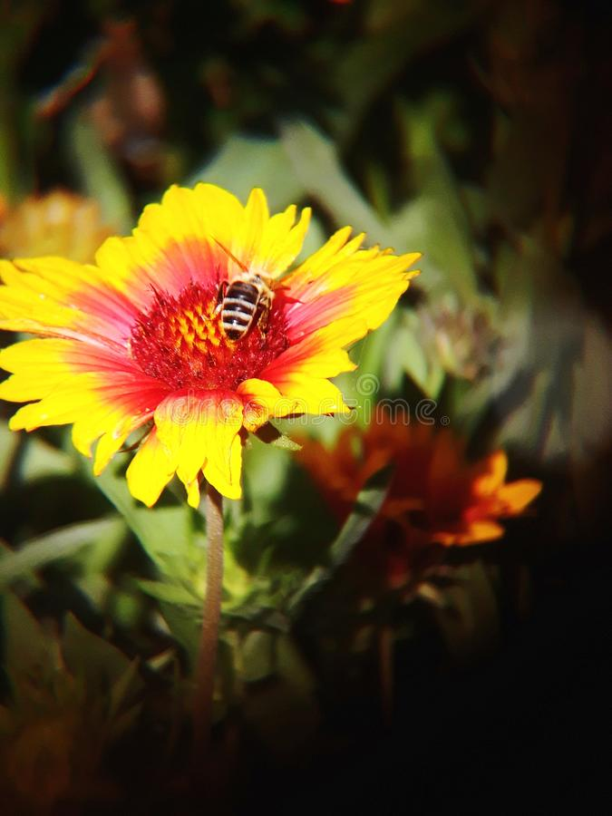 A bee pollinating a flower royalty free stock photos