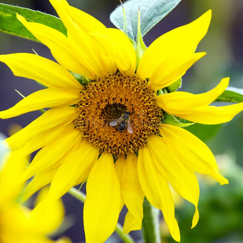Bee pollinating the flower of a sunflower closeup. botany and vegetation. The bee pollinating the flower of a sunflower closeup. botany and vegetation stock photo