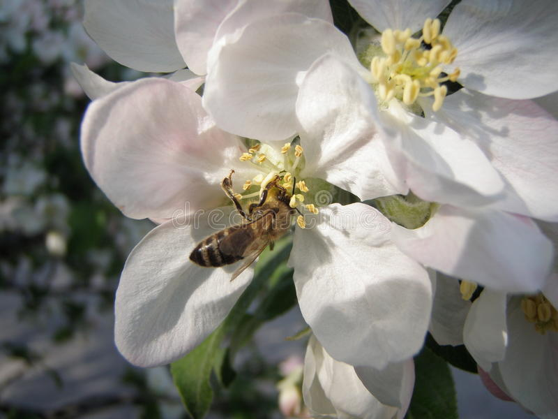 Bee pollinating a flower stock image