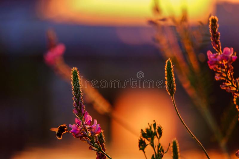 Bee pollinating flowers of lupinus, commonly known as lupine or lupin on the sunset light royalty free stock image