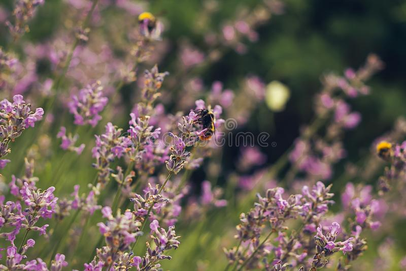 Bee pollinating herbal lavender flowers in a field. royalty free stock photos