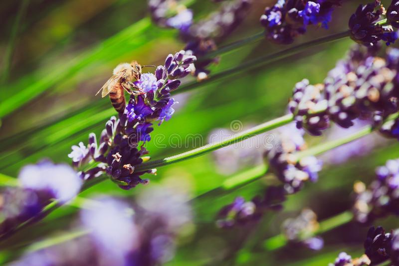Bee Pollinating in Lavender Field of Mount Hood in Oregon stock image