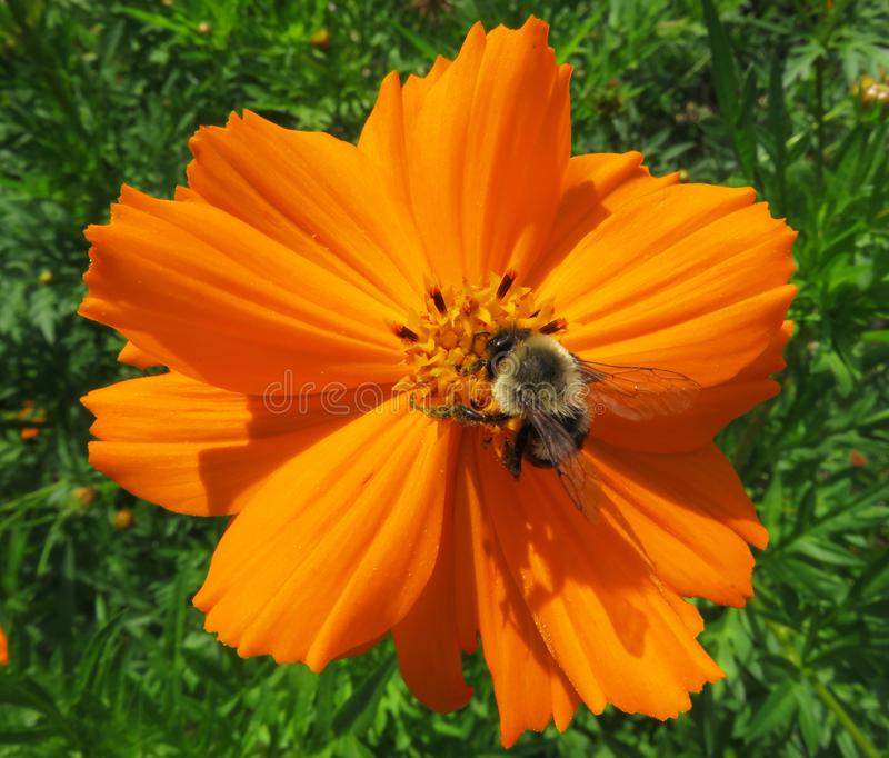 Bee Pollinating the Orange Flower royalty free stock photos