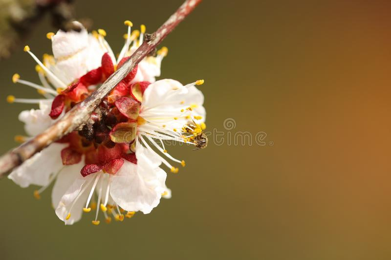 Bee pollinating plum blossom. In a spring stock photos