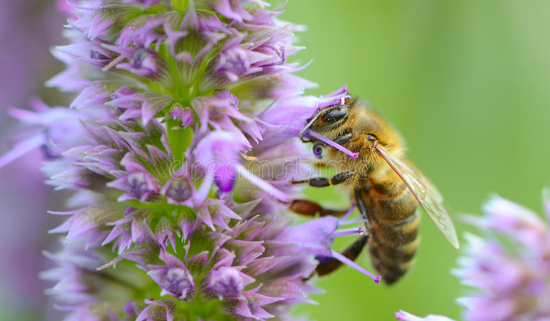 Bee Pollinating Prunella Flower. A close-up shot of a bee pollinating prunella (self-heal) flower royalty free stock image
