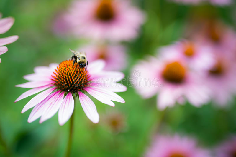 Bee Pollinating Purple Coneflower on Sunny Summer Day. This is a sharp, beautiful 36 mega pixel picture of a bee pollinating a purple coneflower. There is much royalty free stock image