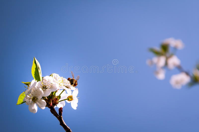 Bee pollinating spring blossoming flowers royalty free stock images