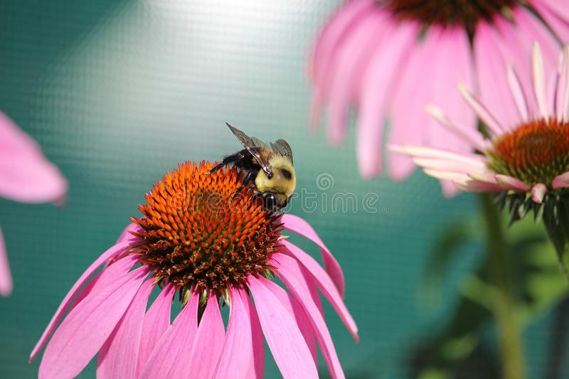 Bee pollinating a spring flower with love stock photo