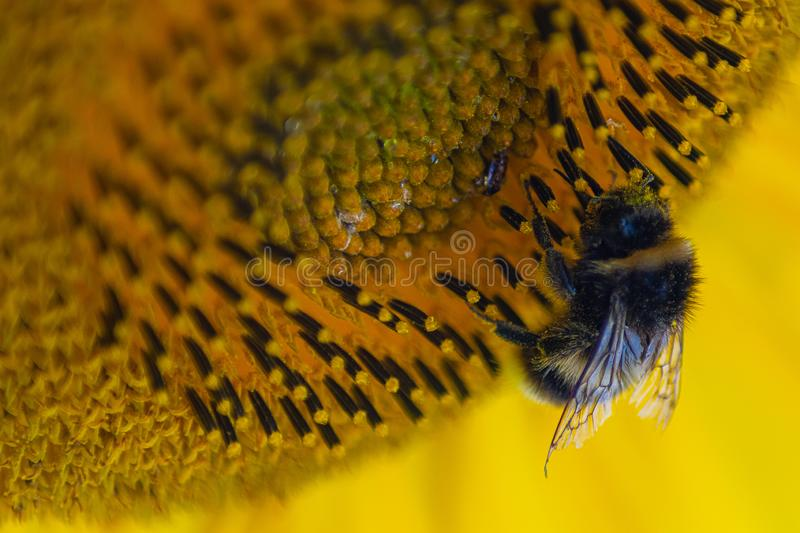 Bee pollinating a sunflower macro beautiful sharp detailed royalty free stock images
