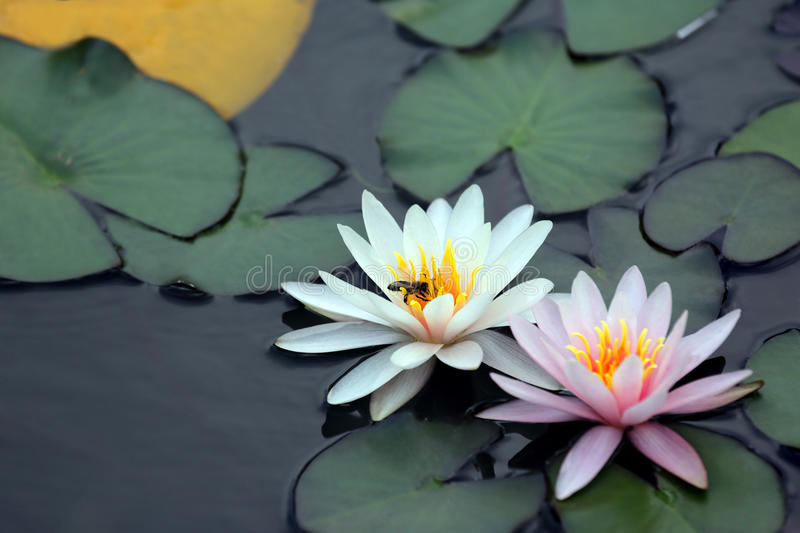 Bee pollinating a white flower of lotus on the water royalty free stock photos