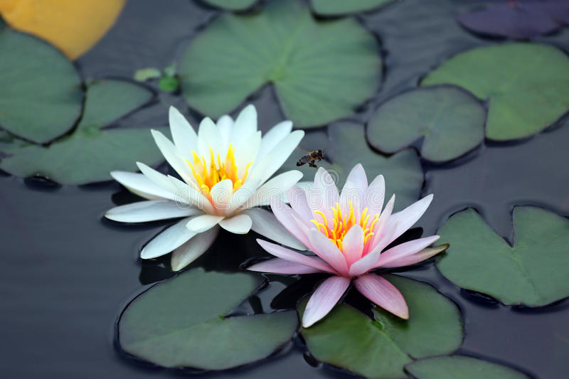 Bee pollinating white and pink lotus flower on water royalty free stock photo