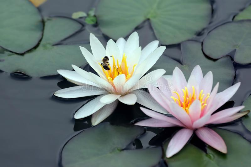 Bee pollinating white and pink lotus flower on water stock photography