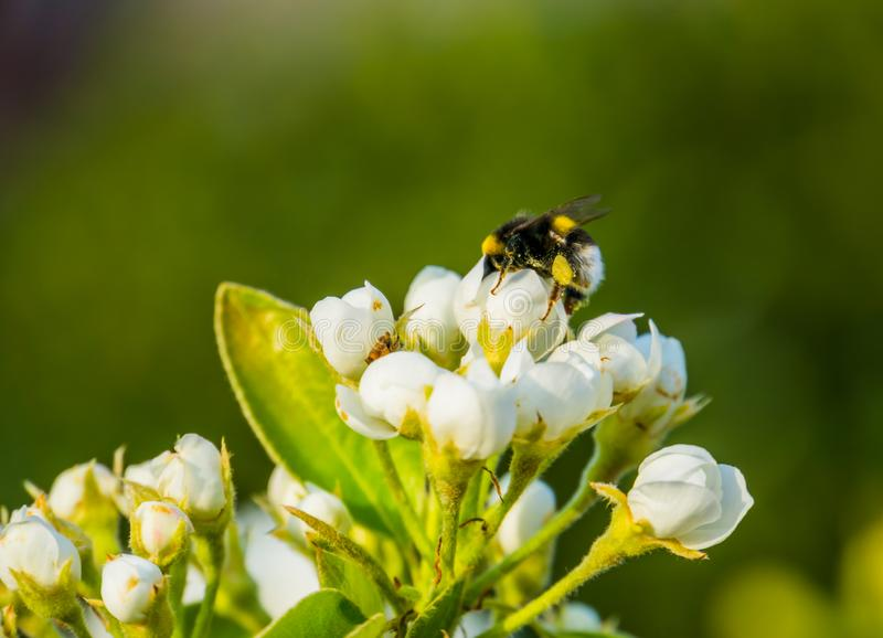 Bee pollinating white roses, macro closeup of a bee on white flowers, nature background stock photos