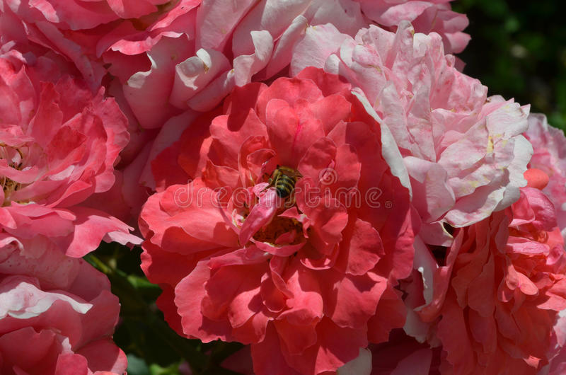 Bee pollinating wild red rose stock images