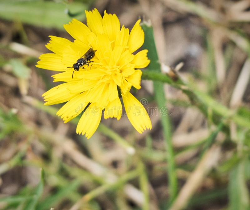 Bee pollinating in a yellow flower - close up macro stock photo