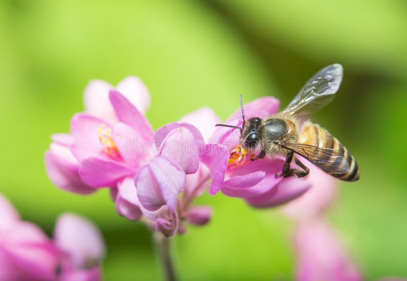 Bee Pollination royalty free stock photos