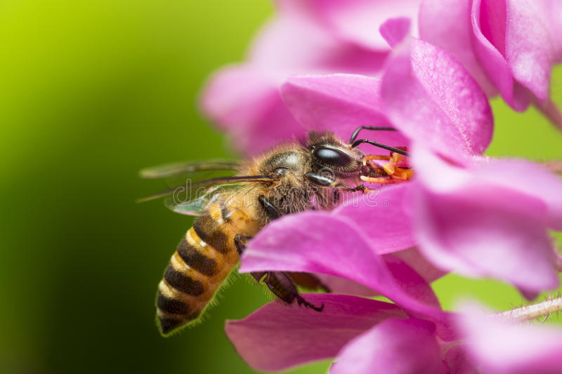 Bee Pollination royalty free stock images