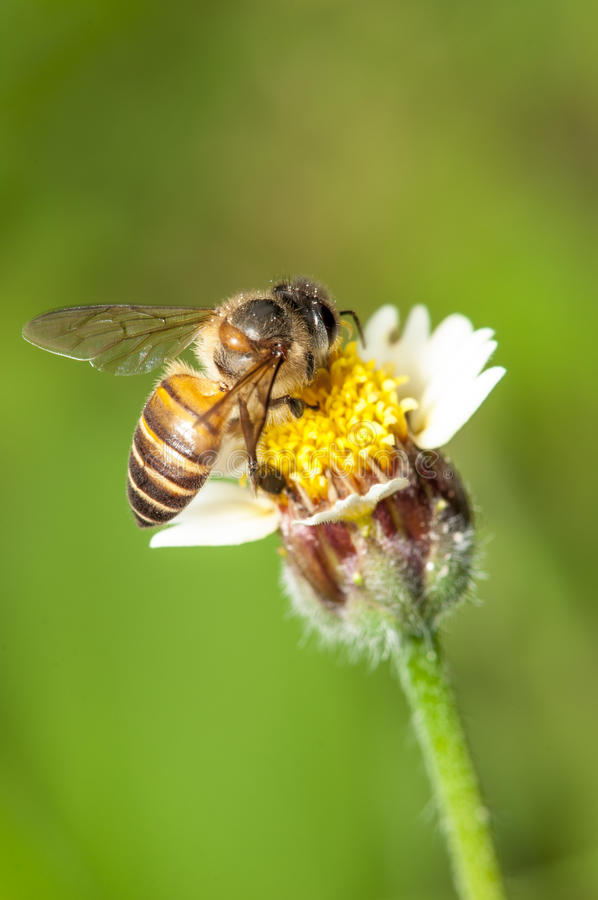 Bee Pollination royalty free stock photography