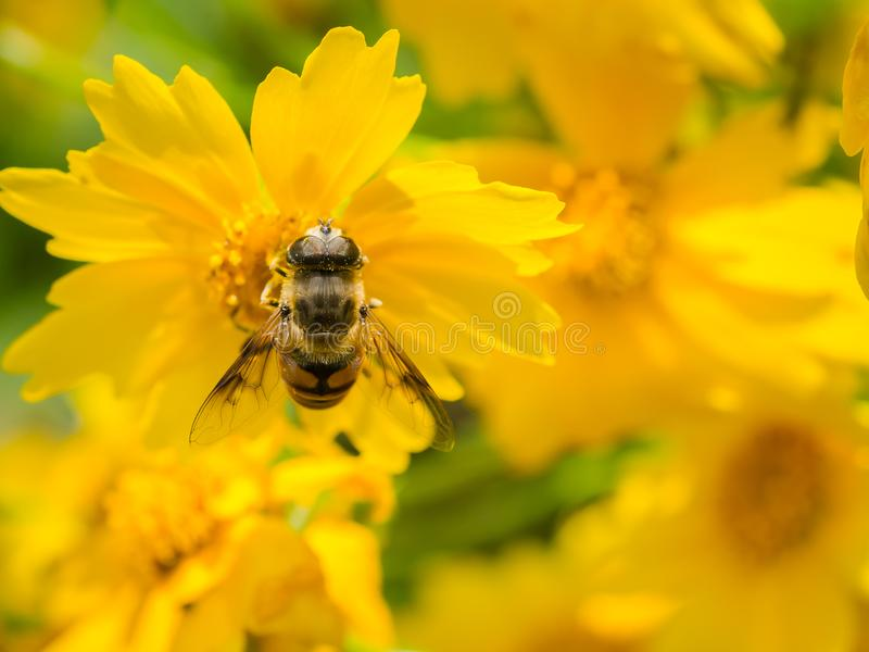 BEE POLLINATION stock images