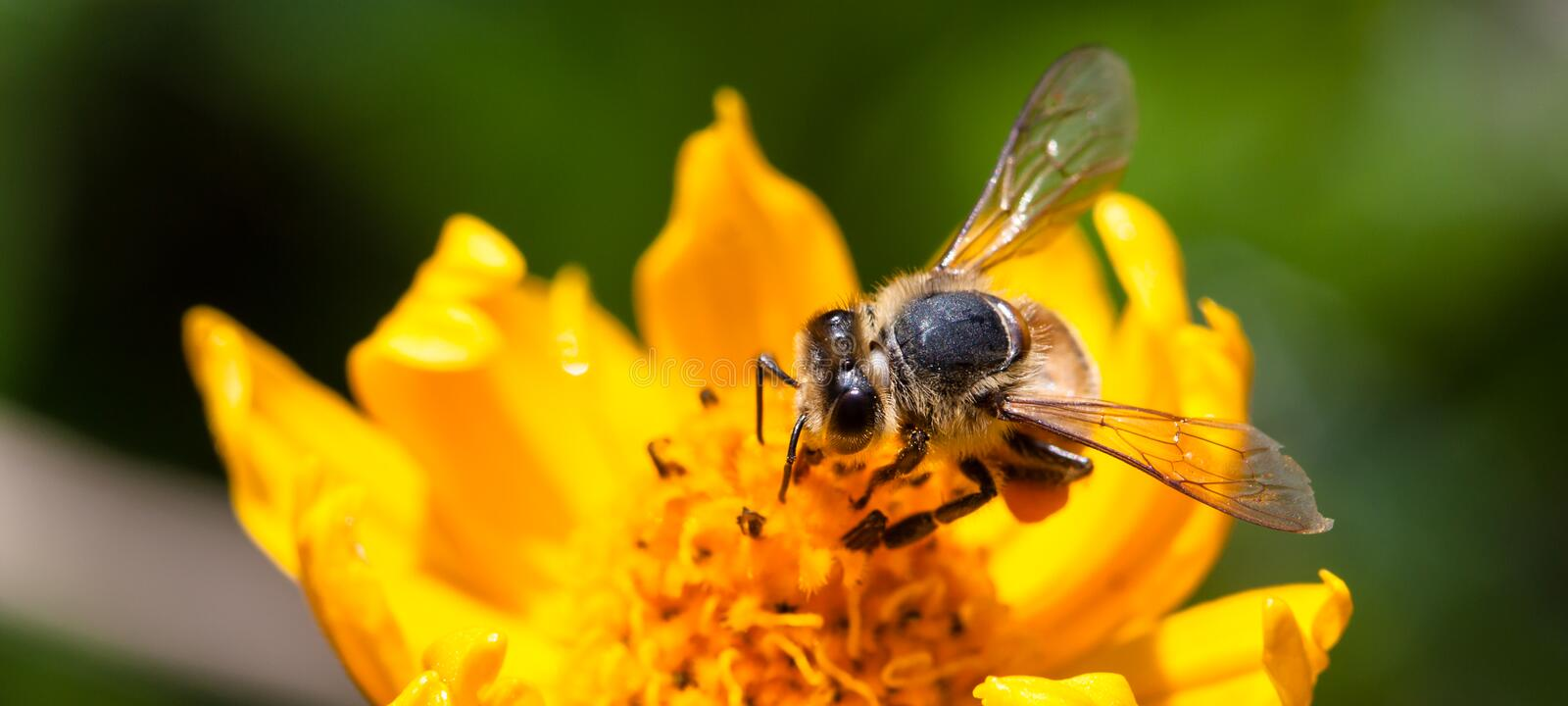 Bee pollinator collecting pollen on the surface of a yellow fresh flower during Spring and Summer macro photo. Bee pollinator collecting pollen on the surface of royalty free stock photos