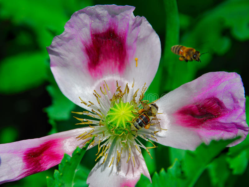 Bee and poppy. Nature macro photo detail. fly, bee stock images
