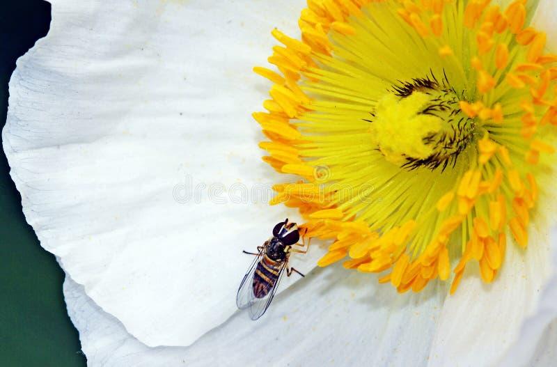 Bee on Poppy stock photo