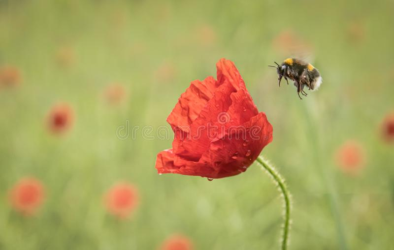 Bee and a poppy head royalty free stock images