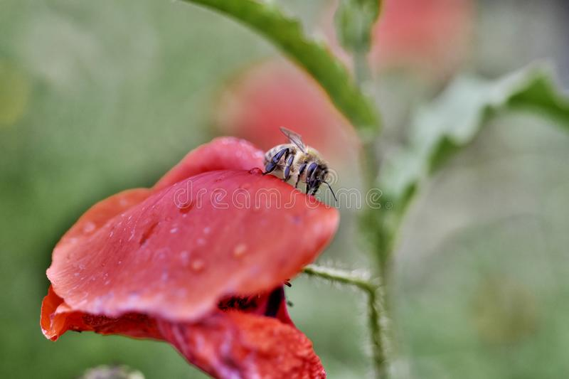 Bee on a poppy with raindrops royalty free stock image