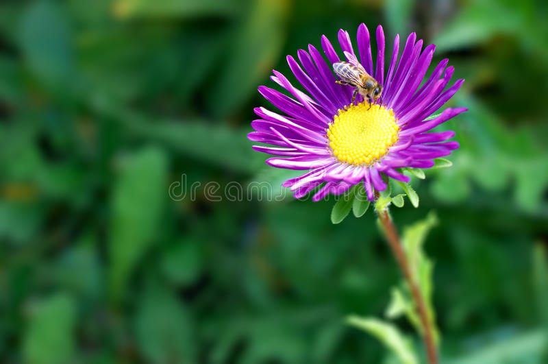 Download Bee on purple aster stock image. Image of stem, green - 11277589