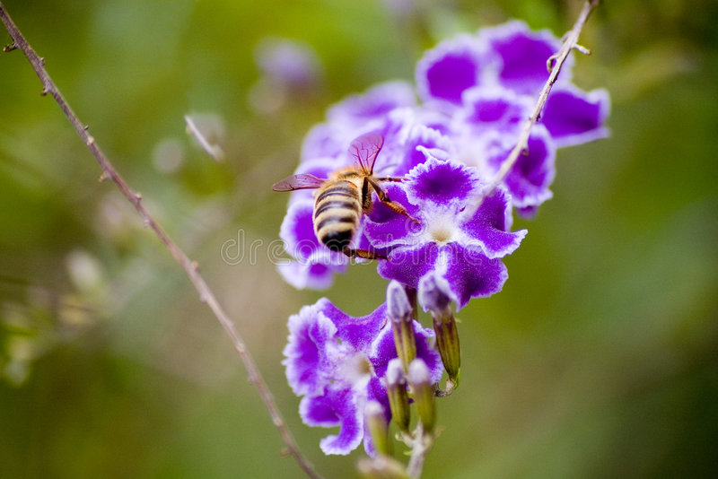 Bee on a purple duranta stock photos