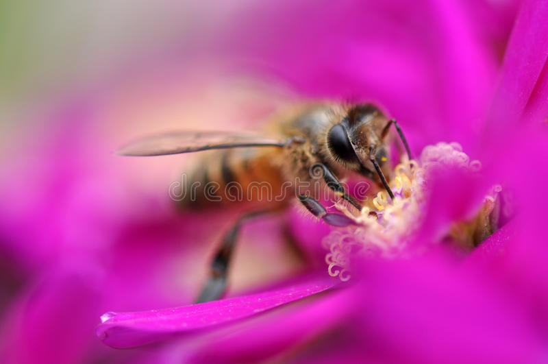 Bee on a purple flower. A bee pollinate a purple flower under a marco len stock image
